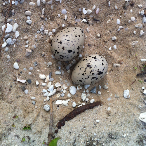 American Oystercatcher Nest and Eggs
