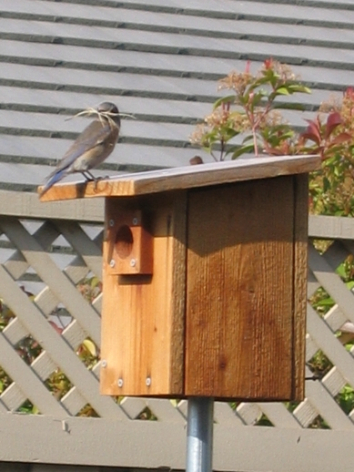 Female Bluebird With Nesting Material Atop Bluebird House