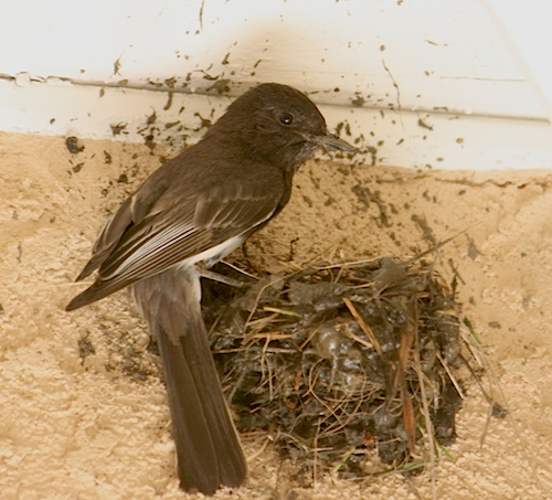 Black Phoebe Building Nest