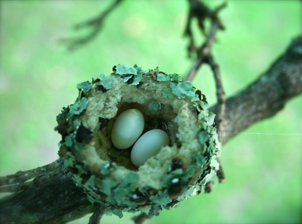 hummingbird nest, hummingbird eggs