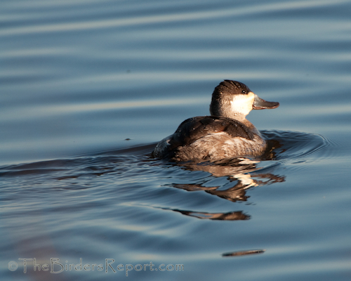Ruddy Duck Drake