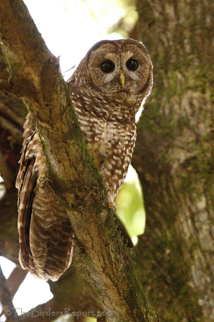 "the northern spotted owl controversy At this juncture in the ongoing controversy, the spotted owl had been  for the  conservation of the northern spotted owl the ""isc report""."