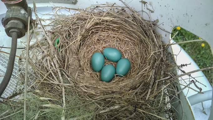American Robin Nest and Eggs