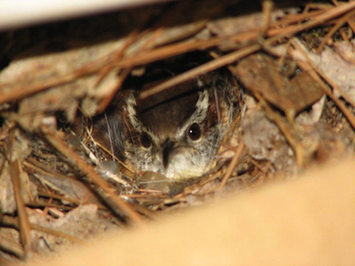 Carolina Wren Fmale in Nest
