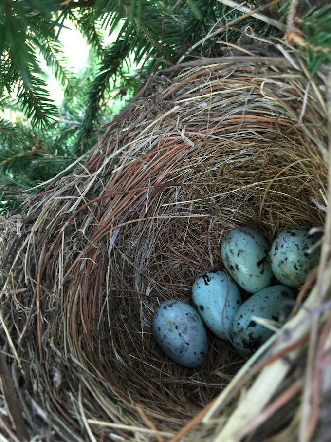 Common Grackle Nest and Eggs