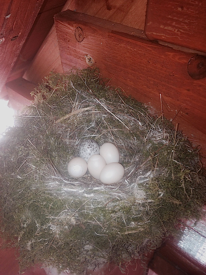Eastern Phoebe Nest with Brown-headed Cowbird Egg