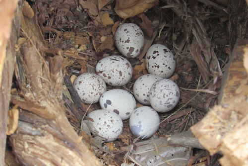 Gambrel's Quail Nest with Eggs