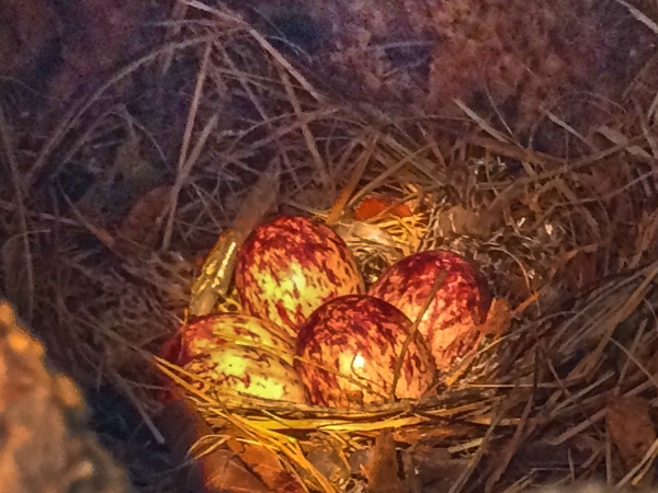 Great Crested Flycatcher Eggs
