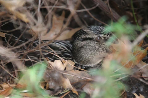 Mallard Female on Nest