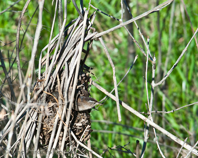 Marsh Wren Male Building Nest