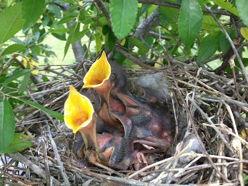 Northern Mockingbird Chicks in Nest