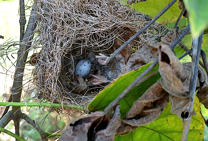 Orchard Oriole Nest with Egg