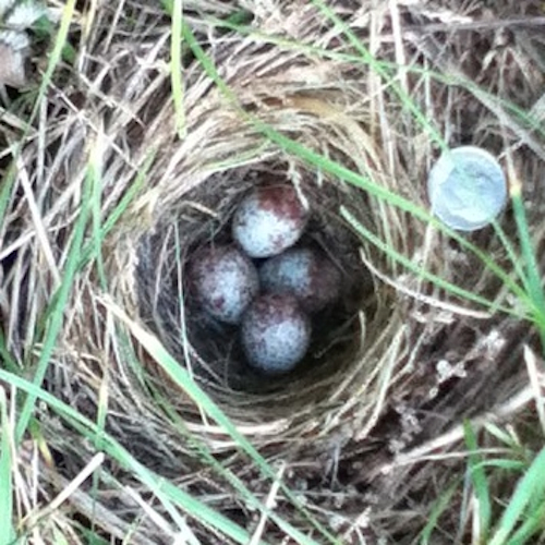 Song Sparrow Nest and Eggs