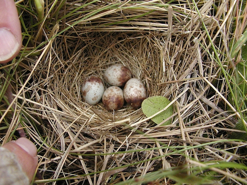 Savannah Sparrow Nest and Eggs