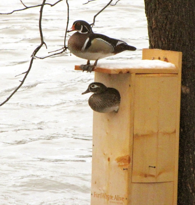 Wood Duck Nest Box