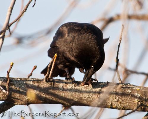 crow, American Crow,