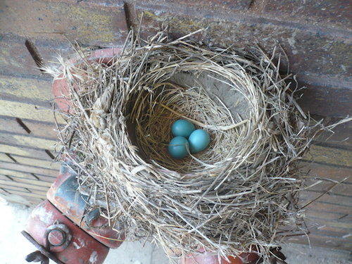 American Robin Nest with Eggs