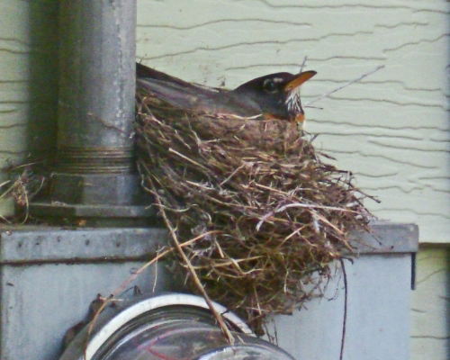 American Robin nest, robin nest, robin sitting in nest