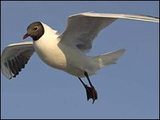 Black-heded Gull