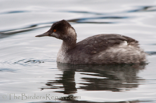 Eared Grebe at Fall River Mills