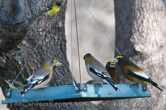 Evening Grosbeak, Pine Siskin and Lesser Goldfinch, GBBC