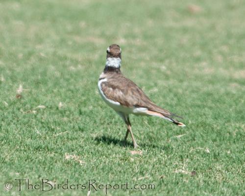 killdeer, plover, shorebird