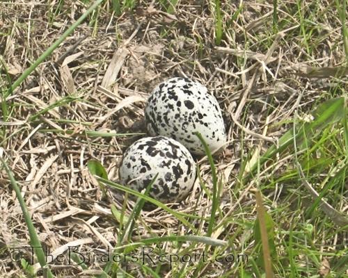 killdeer eggs, killdeer nest