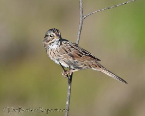 Lincoln Sparrow, sparrow
