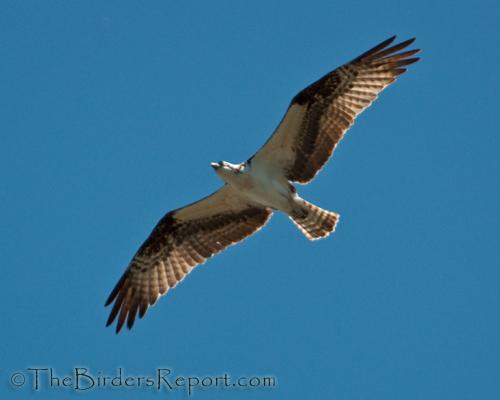 Oprey Flying Overhead