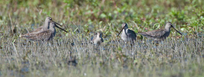 Pectoral Sandpiper with Long- billed Dowitchers