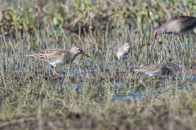 Pectoral Sandpiper with Least Sandpipe