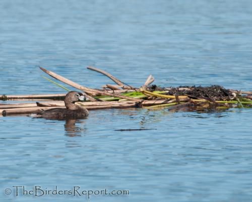 pied-billed grebe, grebe, nestbuilding
