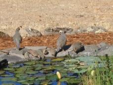 Quail At Pond