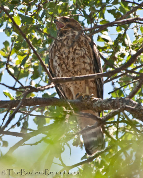 Red-shouldered Hawk Calling