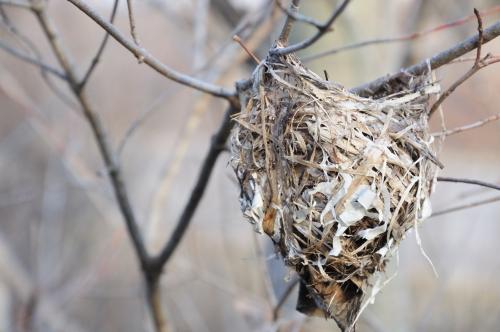 Red eyed vireo nest - photo#37