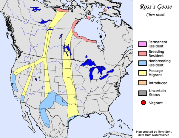 Ross's Geese at Sacramento National Wildife Refuge - Wintu ... on snow goose range map, moose migration map, canadian geese migration route map, great migration map, northern shoveler, tundra swan, deer migration map, trumpeter swan, wild turkey migration map, mute swan, ruddy duck, cinnamon teal, ducks migration map, white-fronted goose, texas snow storm map, american black duck, cackling goose, turkey vulture migration map, mallard migration map, blue-winged teal migration map, cinnamon teal migration map, coyote migration map, waterfowl migration map, hummingbird migration map, killdeer migration map, swans migration map, northern pintail, canada goose, bald eagle migration map, wood duck, reindeer migration map, american coot migration map, american wigeon, blue-winged teal,