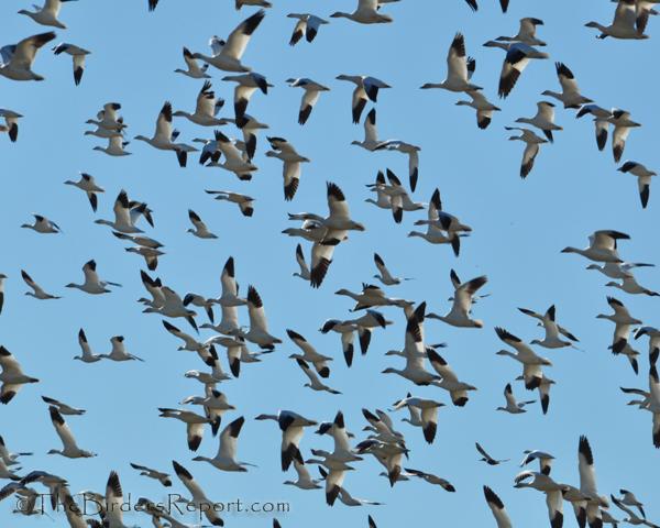 National Wildlife Refuges Archives - Wintu Audubon Society