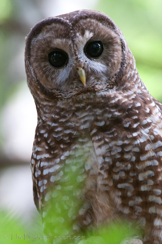 Northern Spotted Owl