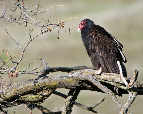 Turkey Vulture Adult