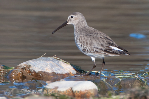 Dunlin in Winter Plumage