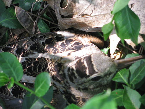 American Woodcock On Nest from Debbie in Michigan