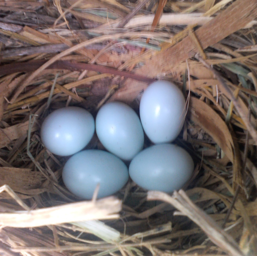 European Starling Nest and Eggs from Tennessee