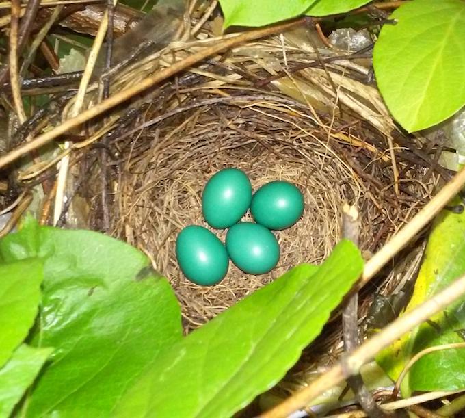 Gray Catbird Nest and Eggs