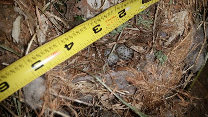 House Sparrow Nest and Eggs