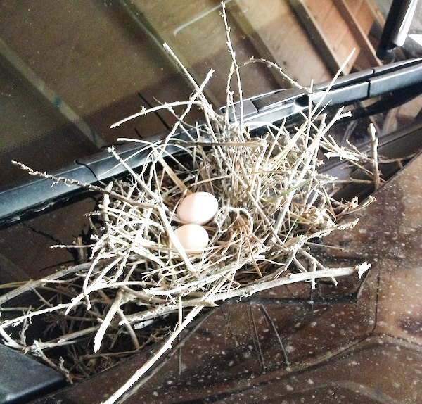 Mourning Dove Nest & Eggs On Car