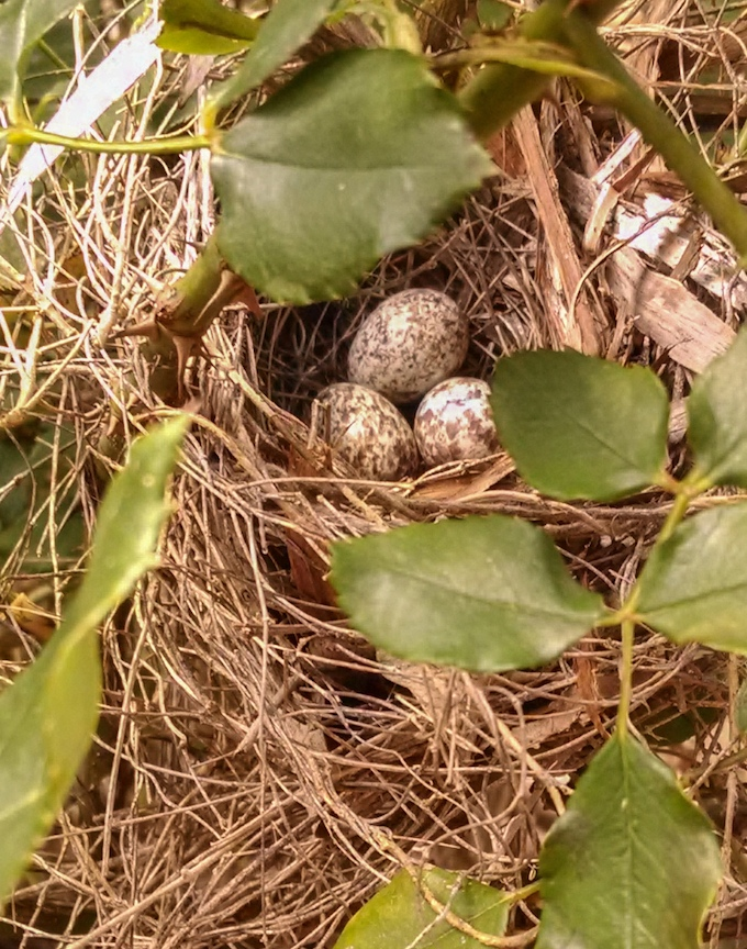 Pyrrhuloxia Nest and Eggs