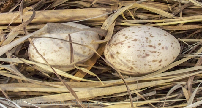 Greater Sandhill Crane Eggs