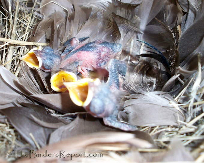 Tree Swallow Nestlings