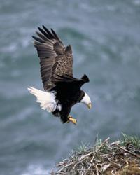Bald Eagle - USFWS photo
