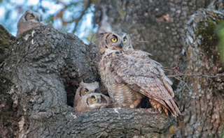 Great Horned Owl with Owlets